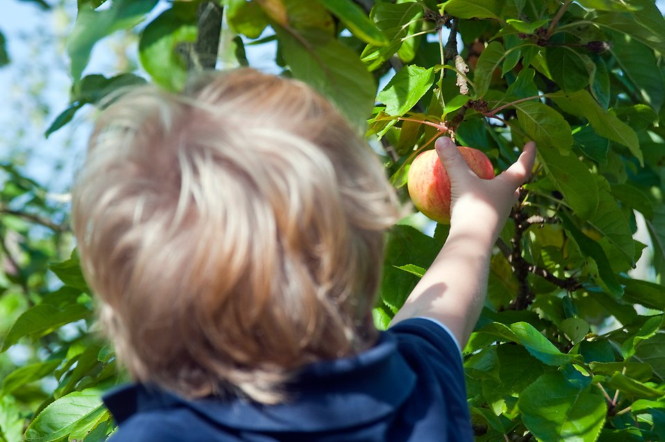 Photo of a child picking an apple from a tree